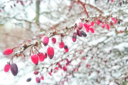bär på taggbuske vinter