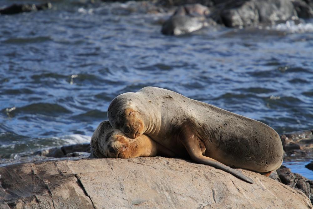 Sea_Lions_Ushuaia