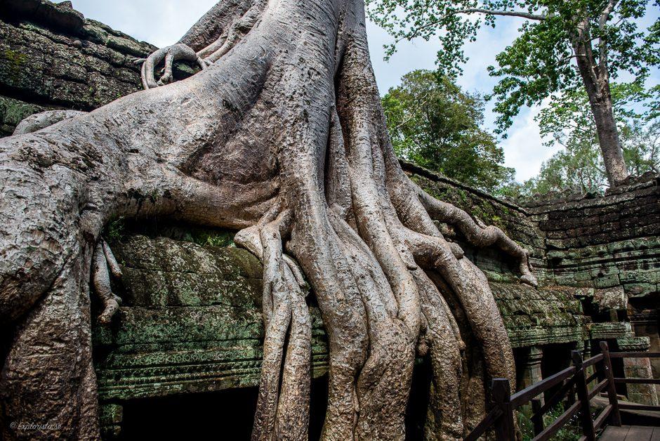 träd på tempel, ta phrom