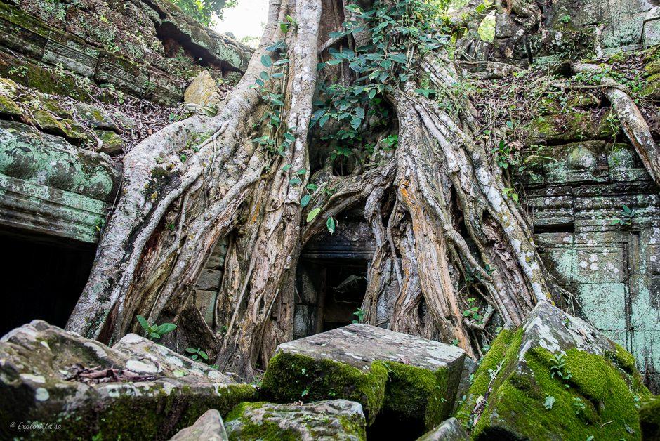 trädövervuxet tempel