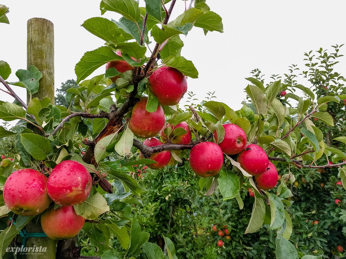 äpplen på träd
