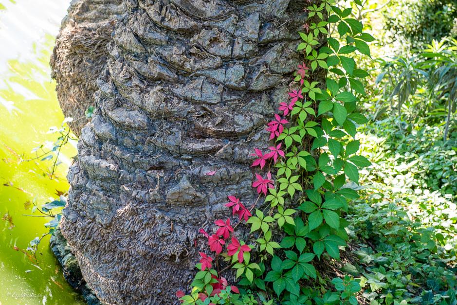 fina klängväxter