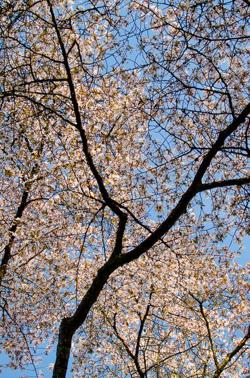 blommande körsbärsträd mot himmel
