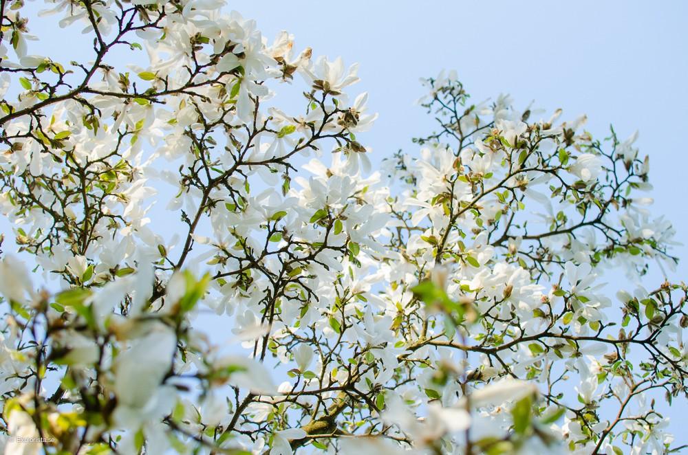 magnolia botaniska trädgården göteborg