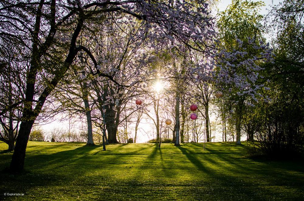 solnedgång med körsbärsträd botaniska trädgården göteborg