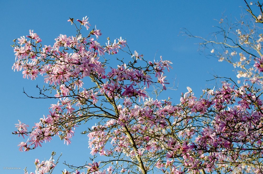 körsbärsträd botaniska trädgården göteborg