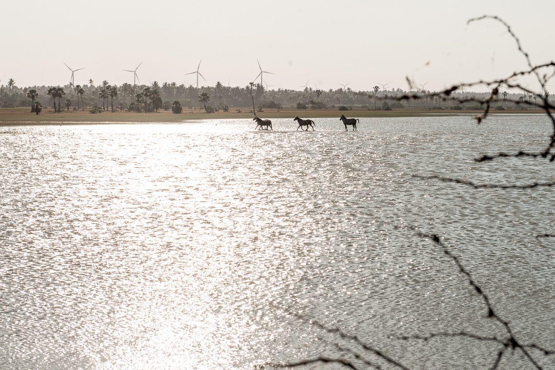 hästar i vatten