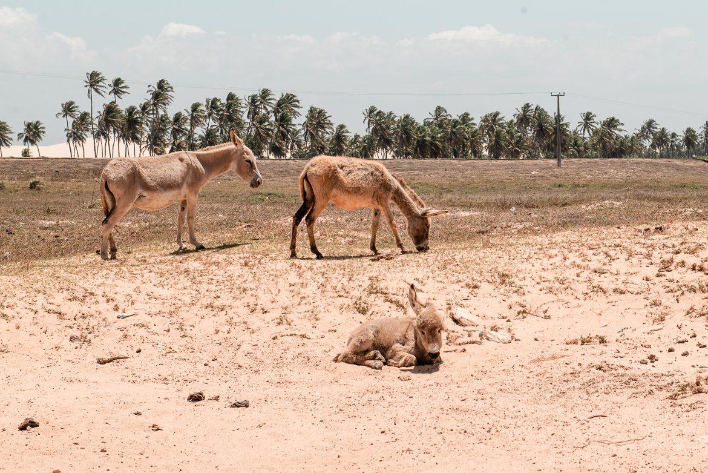 åsnor i brasilien