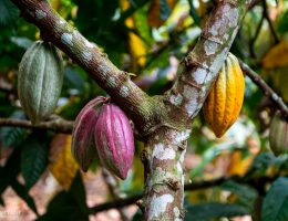 kakaobönor i olika färger