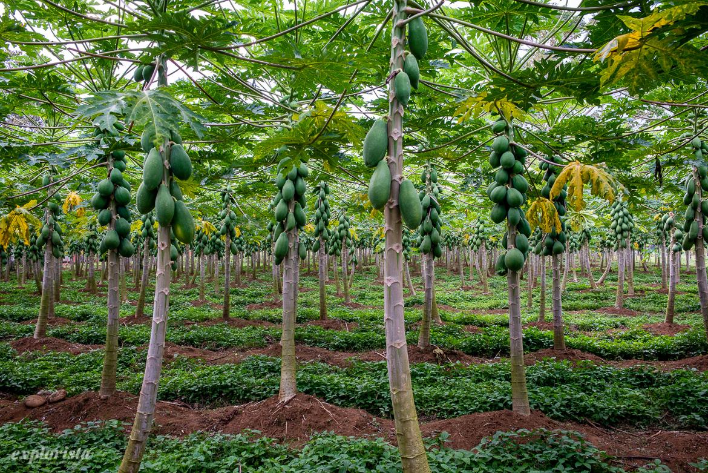 papayaträd
