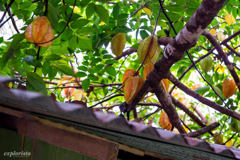 stjärnfrukter i träd