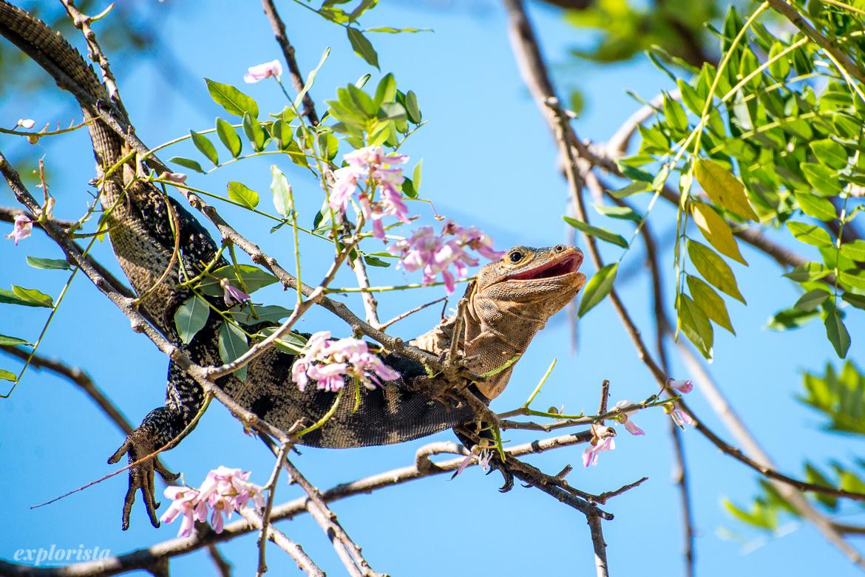 iguana i träd