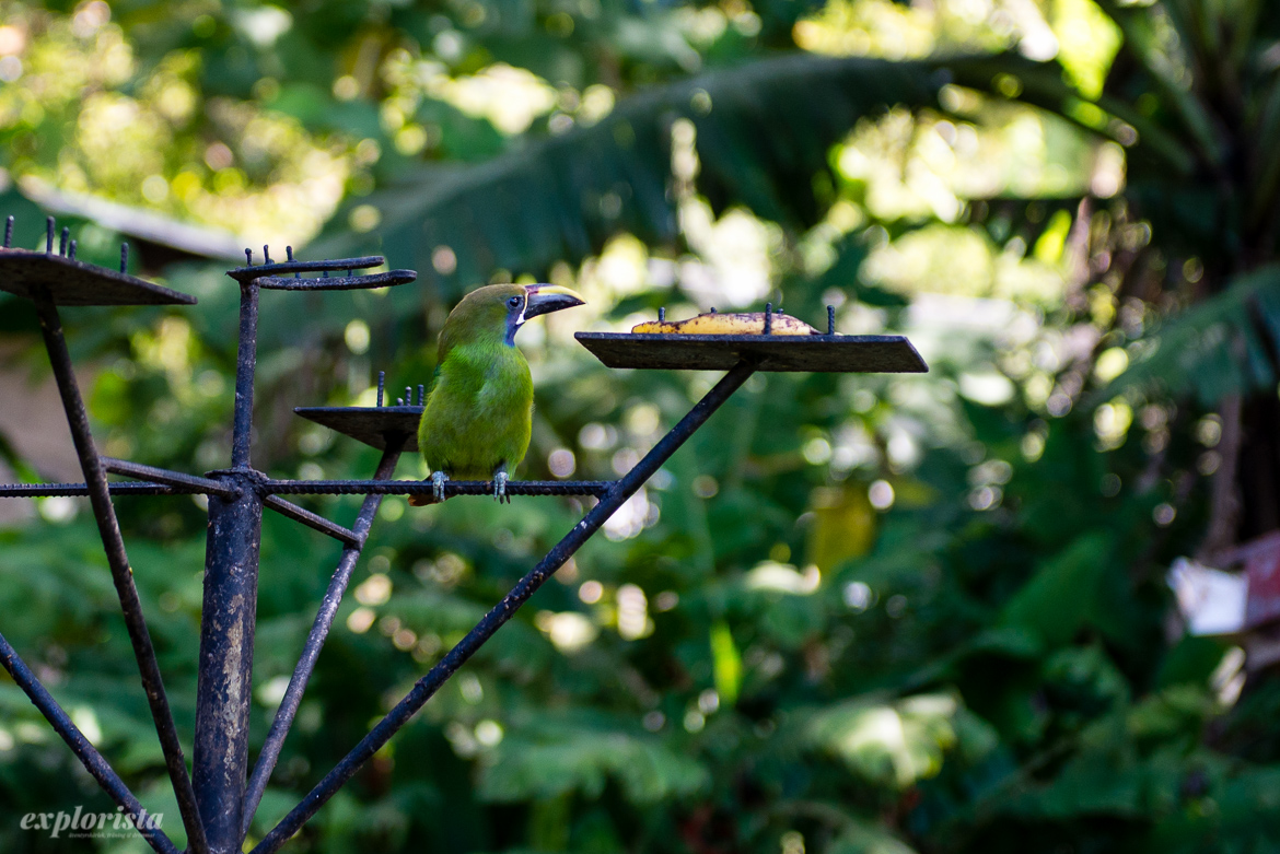 green bird costa rica