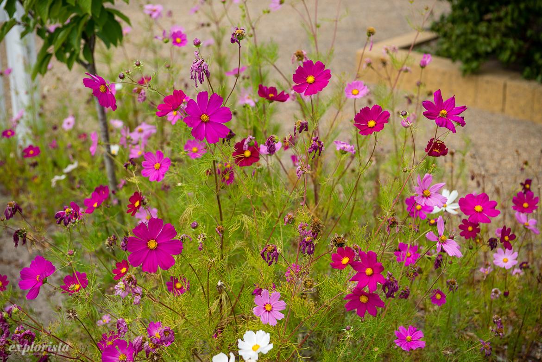fina rosa blommor