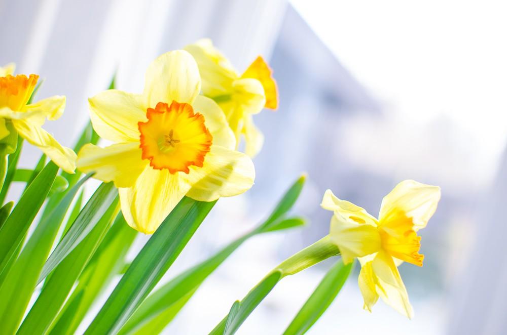 påskliljor gula