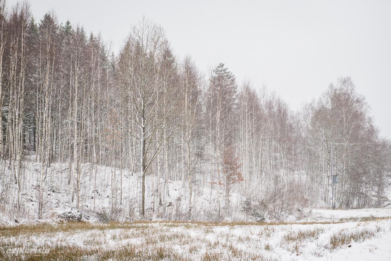 snöig björkskog