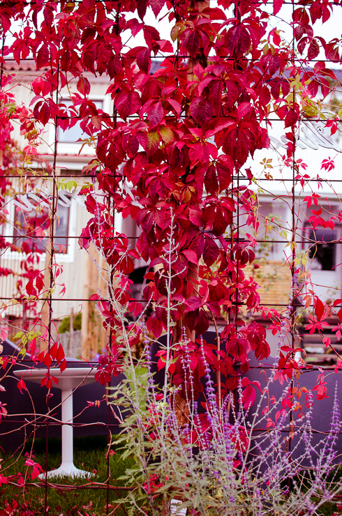 röd klättervildvin