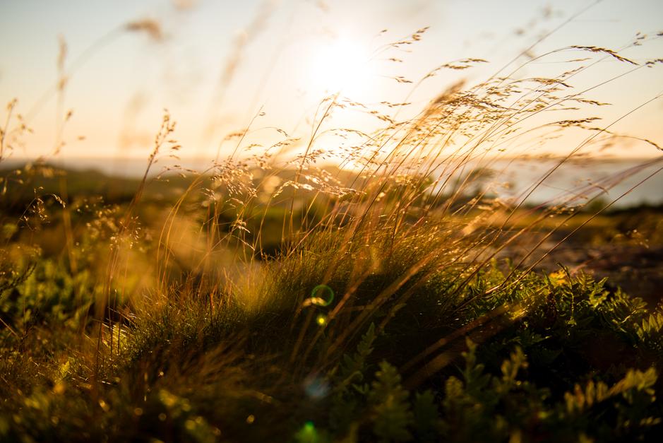 gräs i solnedgång hälsö