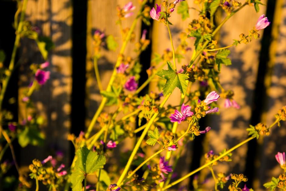 solnedgång hälsö blommor