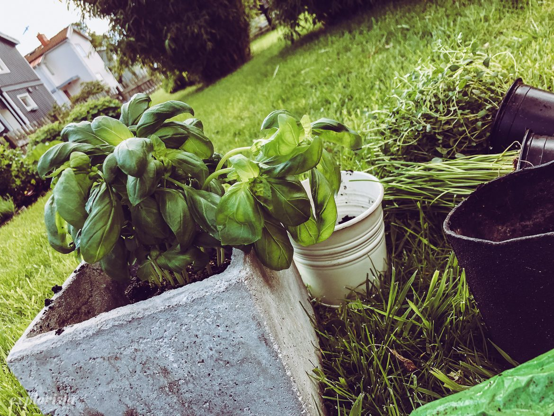 plantera basilika