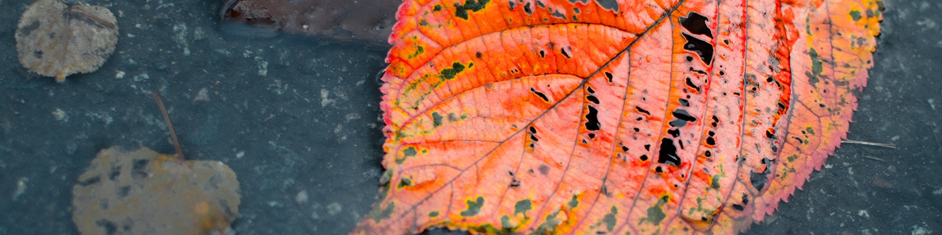 Höstlöv i regnet