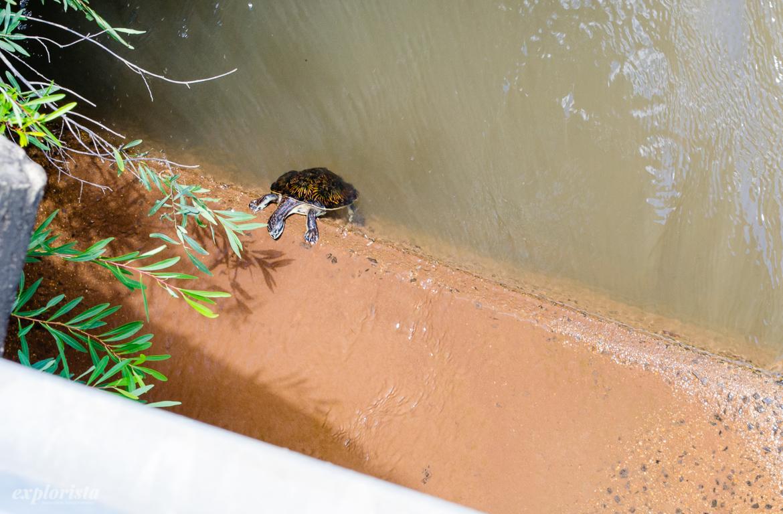 sköldpadda klättrar upp ur vattnet