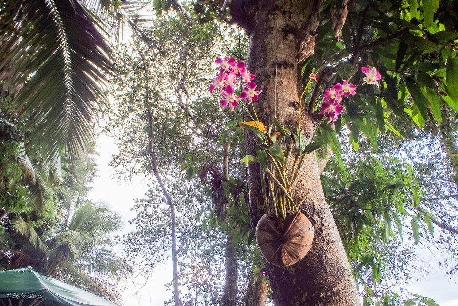 orkidé i träd