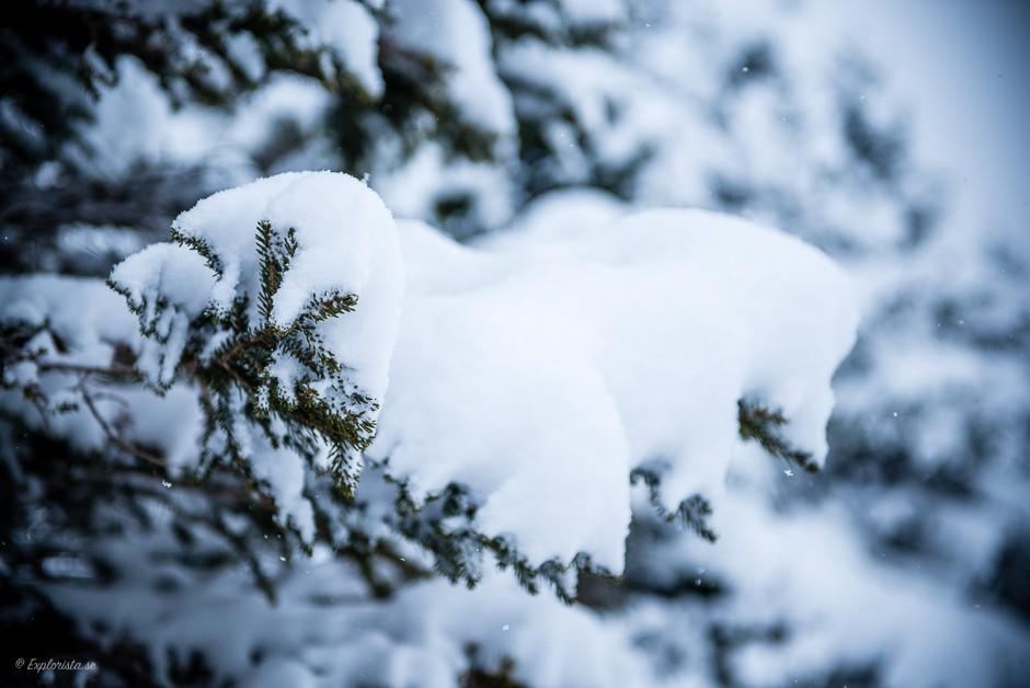 snöig grangren