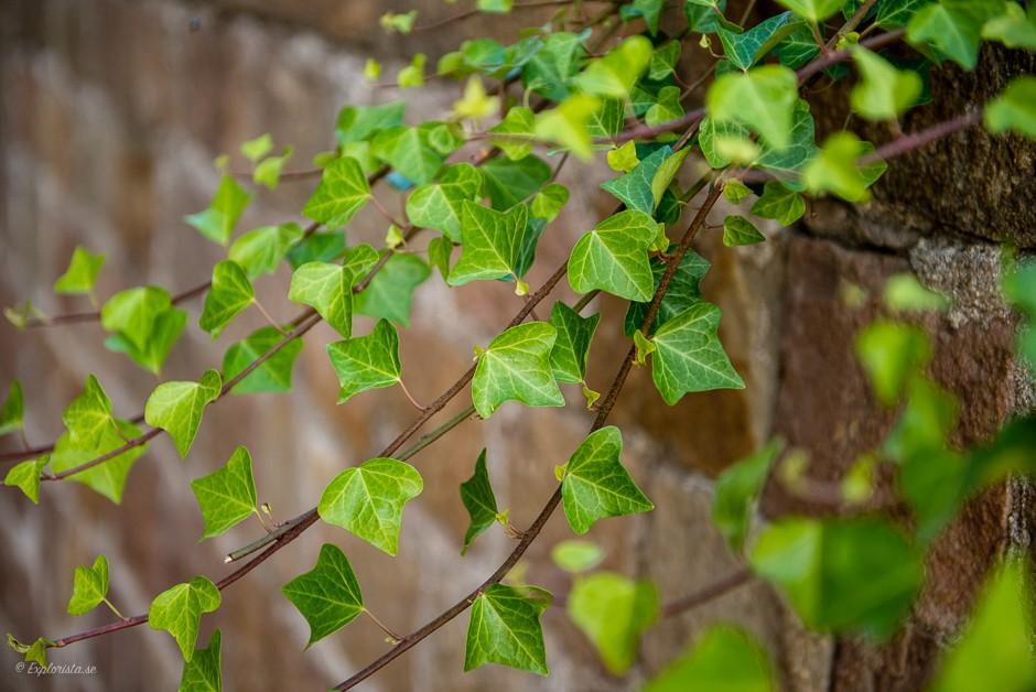 murgröna
