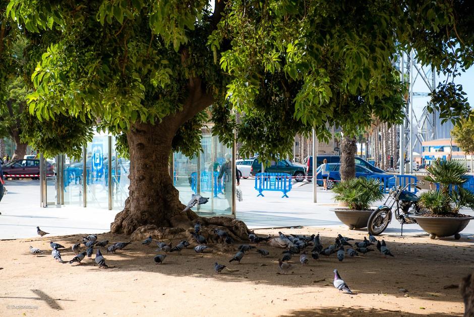 strandträd i barceloneta