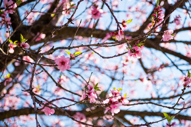 körsbärsblommor rosa