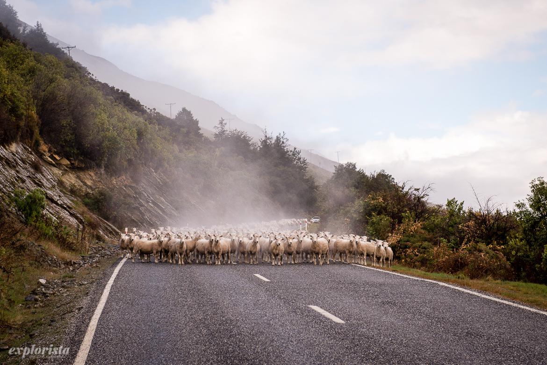 skock av får