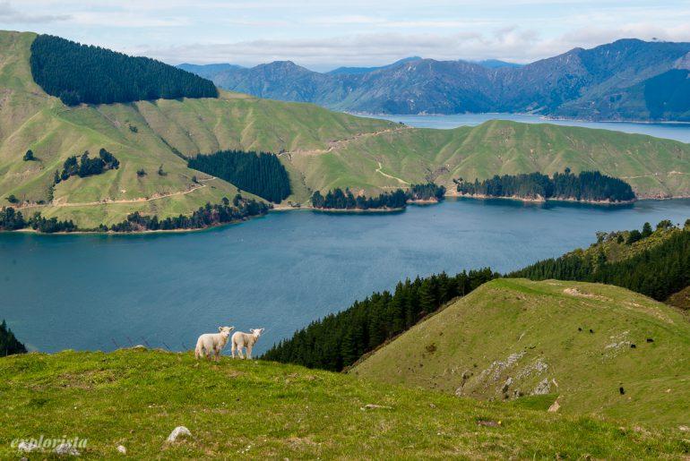 gröna kullar, får och hav - french pass, nya zeeland