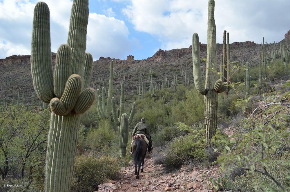 saguarokaktus arizona