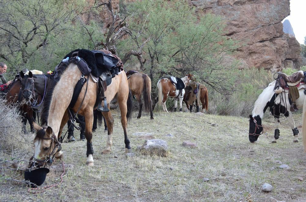 häst arizona