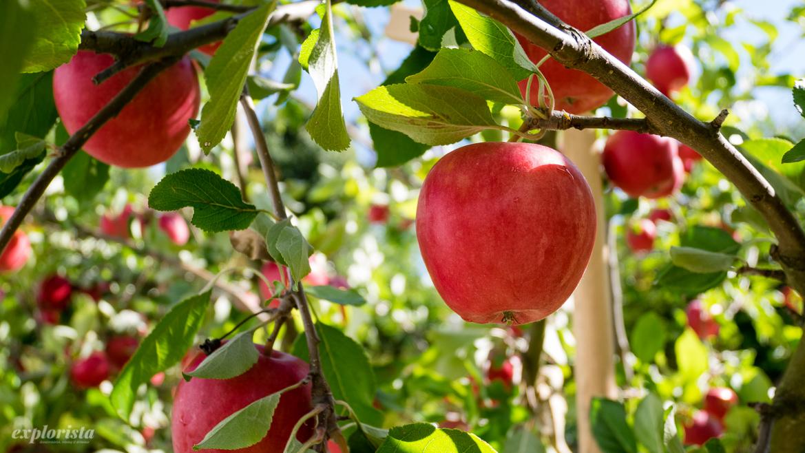 röda höstäpplen