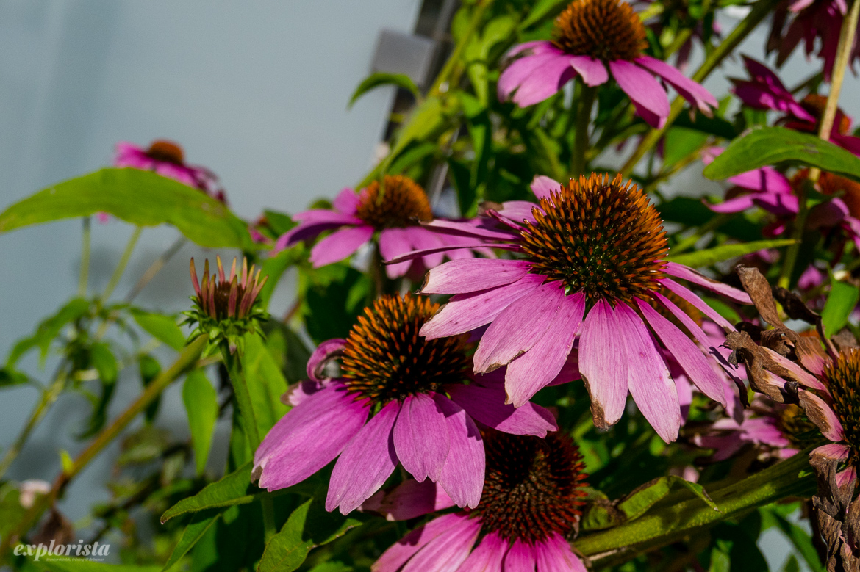 blomma magnus