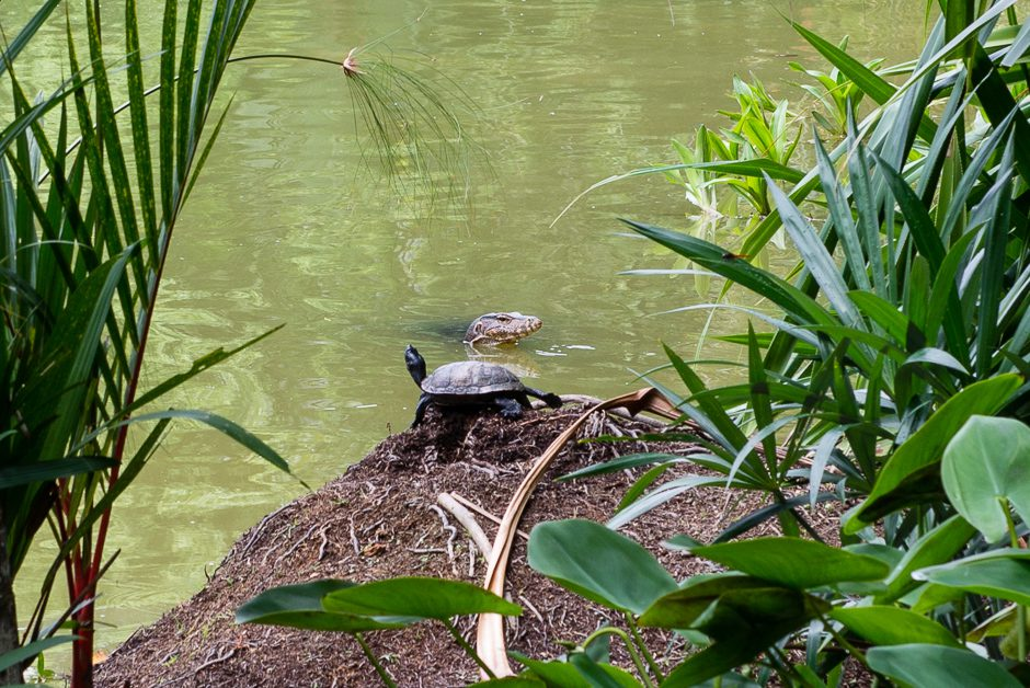 monitor lizard och sköldpadda