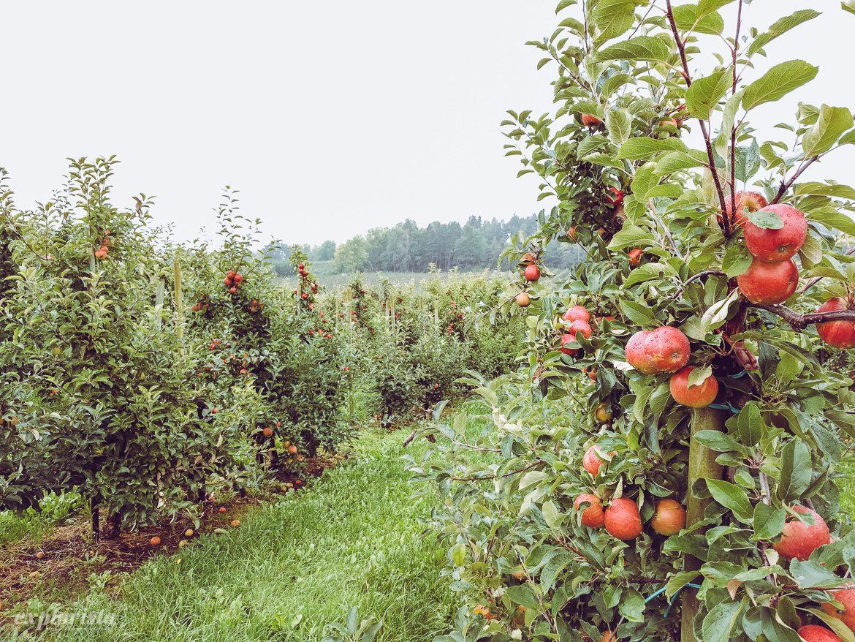 regn på äppleodling