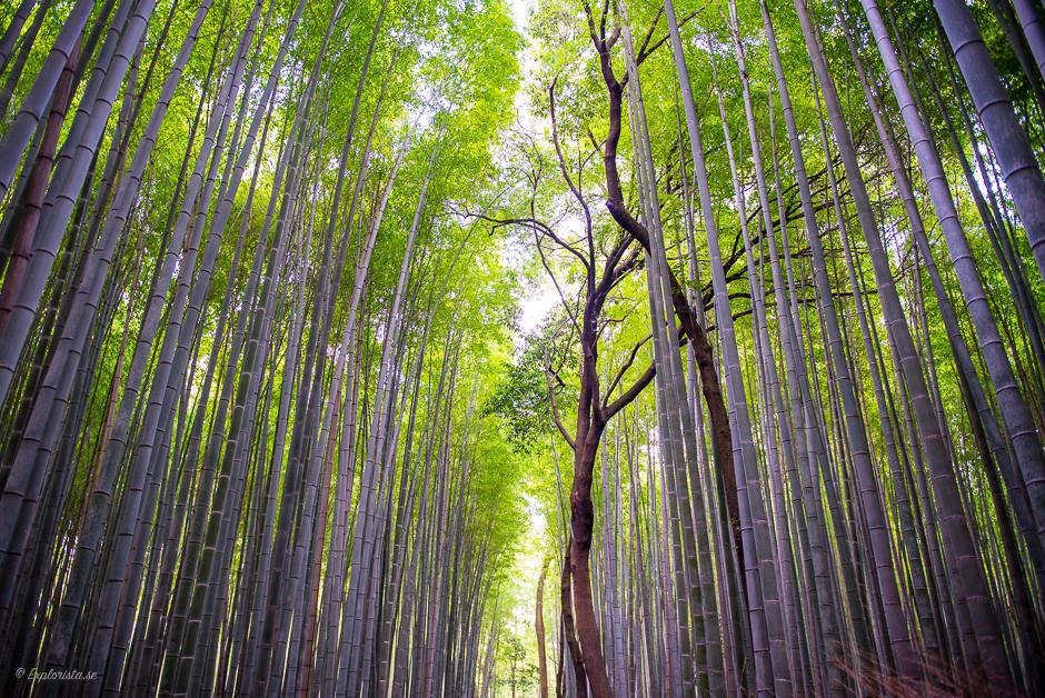 bambuskog japan