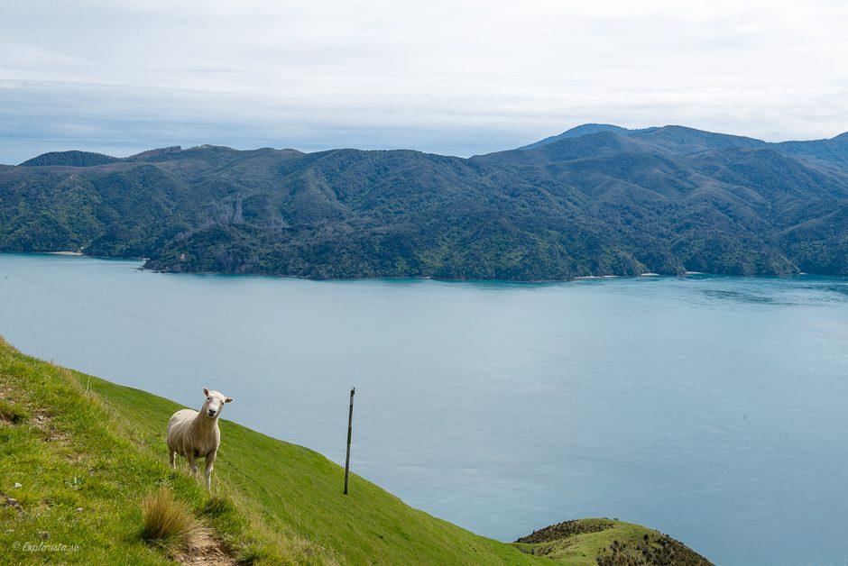 får, kullar och hav i nya zeeland