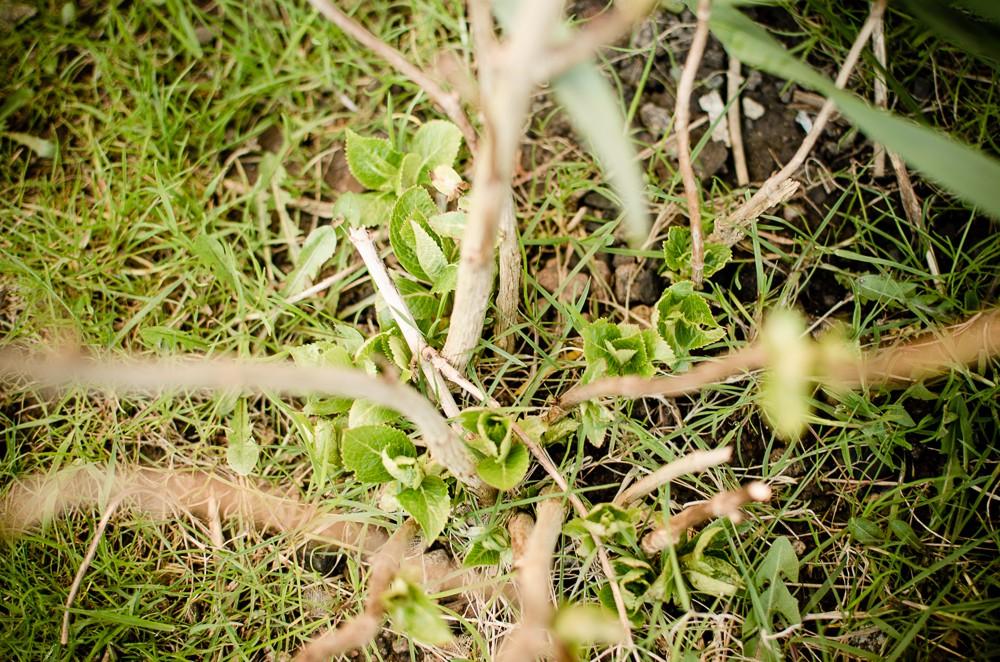 hortensia knoppar