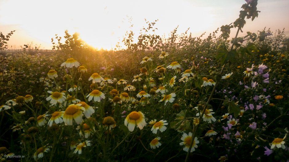 blommor solnedgång
