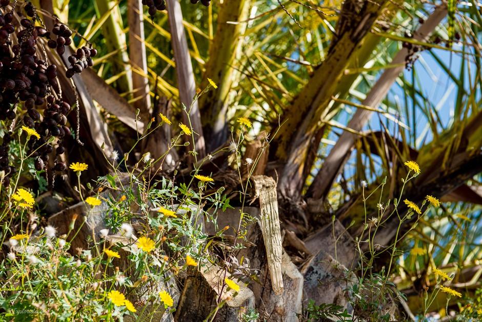 palm blommor