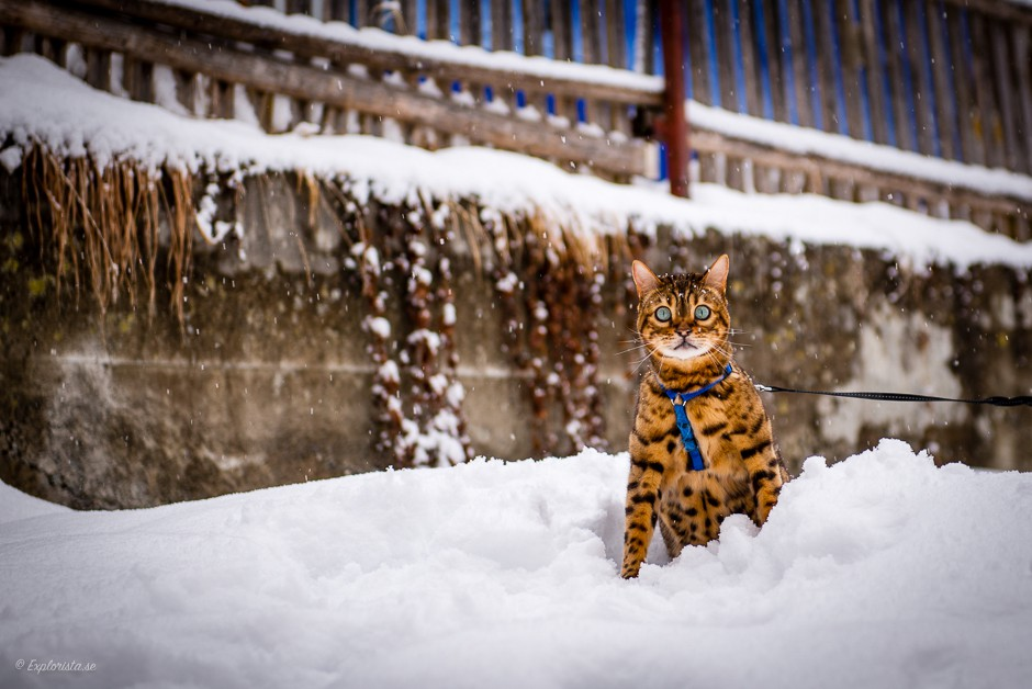 bengal cat in snow