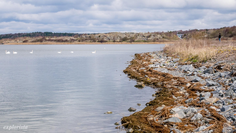 torslanda lagun svanar