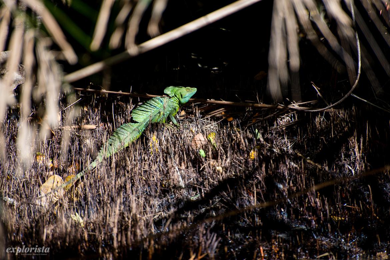 grön ödla tortuguero