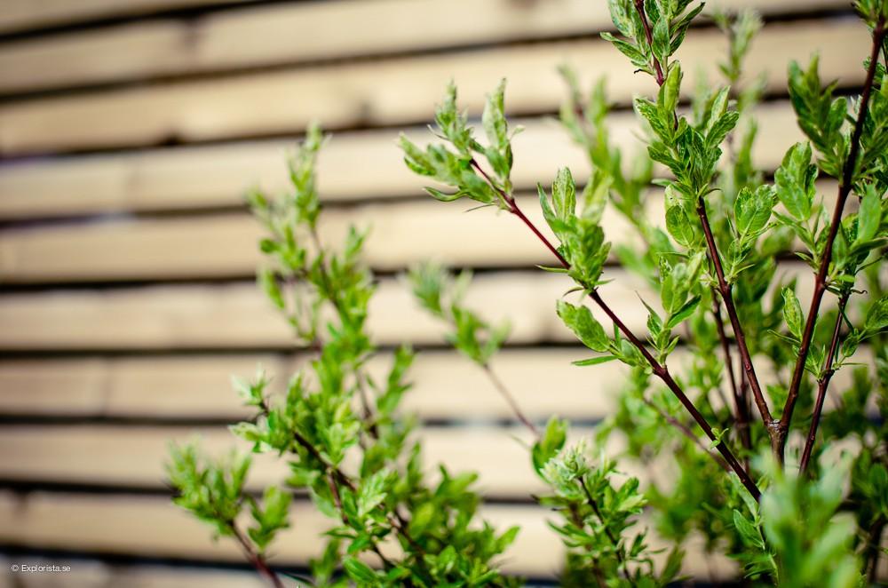 eukalyptusvide hakuro nishiki