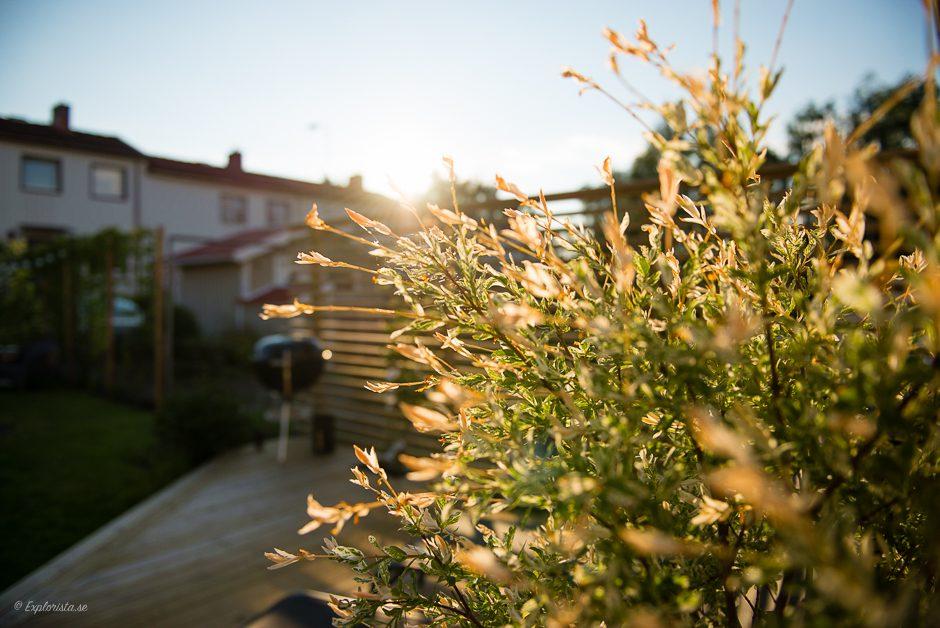 eukalyptusvide i solnedgång