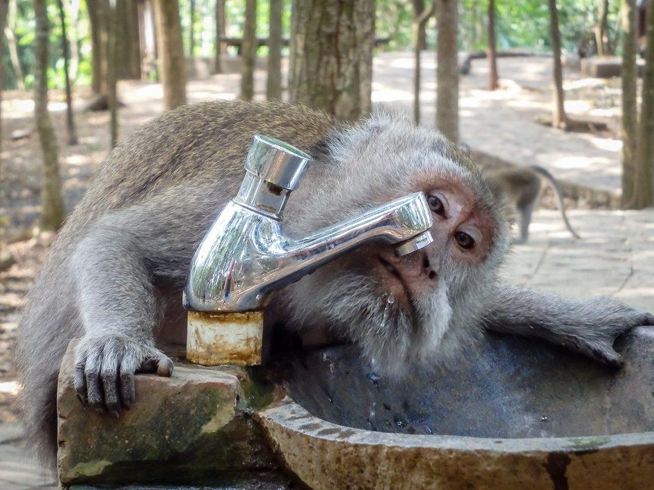 apa dricker ur dricksvattenfontän